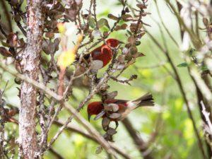 Himsan in Hawaiian native tree