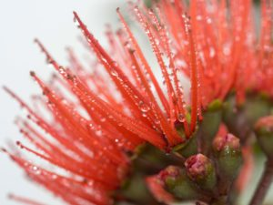 Red Lehua flower close up with dew drops
