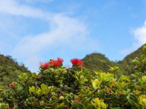Red Lehua flowers on Ohia trees against the blue sky, TWS Hawaii News