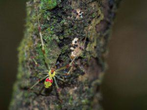 "macro of Thegra ""Happy Faced"" Spider"