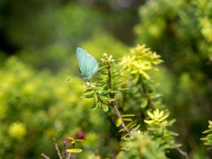 Udabla moth macro on a Hawaiian Ohia tree