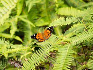 Kamehameha Butterfly in Hawaiian ferns