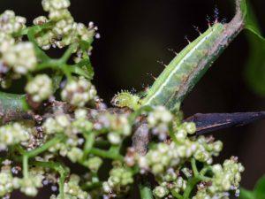 Hawaiian Caterpillar on twig