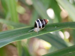 Achmus Hawaiian Tree Snail