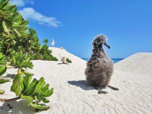 Hatchling amongst sand dunes in Hawaii, Hawaiian Wildlife