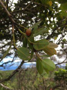 Hawaiian tree snail on a tree branch
