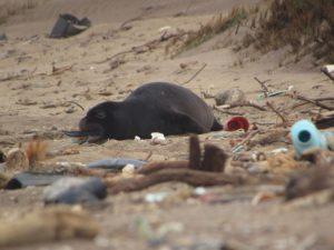 Monk seal eating marine debris on Hawaiian beach