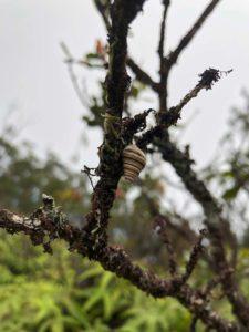 Hawaiian Tree Snail on tree branch